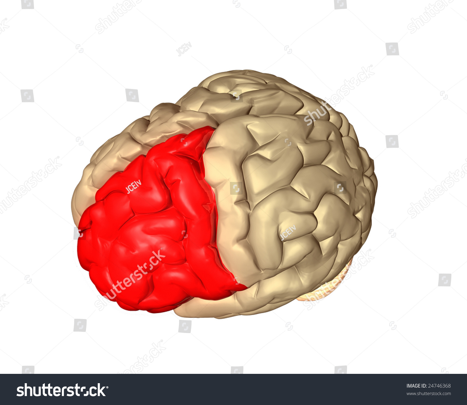 Frontal Lobe Part Brain Highlighted Red Stock Illustration 24746368 ...