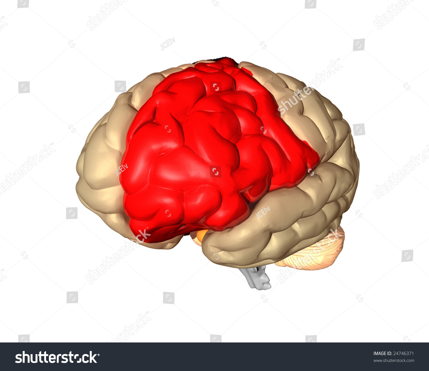 Frontal Lobe Part Brain Highlighted Red Stock Illustration 24746371 ...