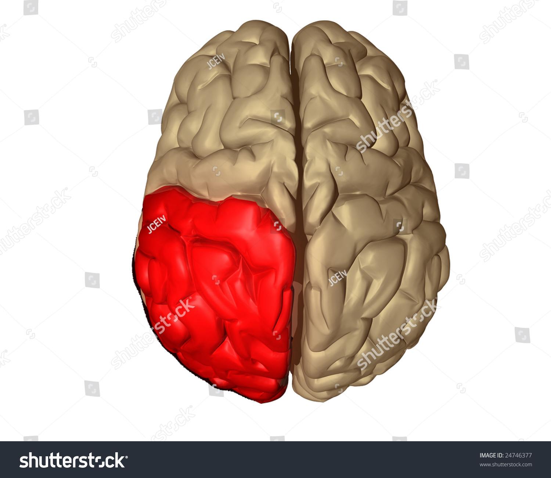 Parietal Lobe Part Brain Highlighted Red Stock Illustration 24746377