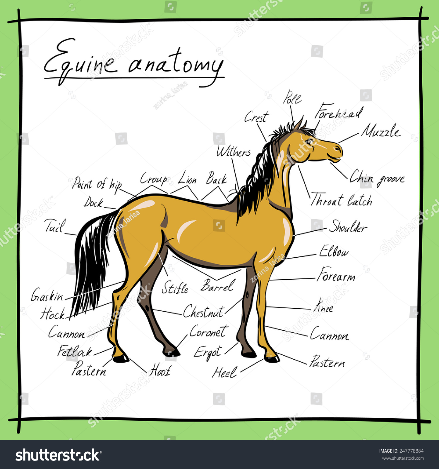 Equine Anatomy Parts Horse Stock Vector 247778884 - Shutterstock