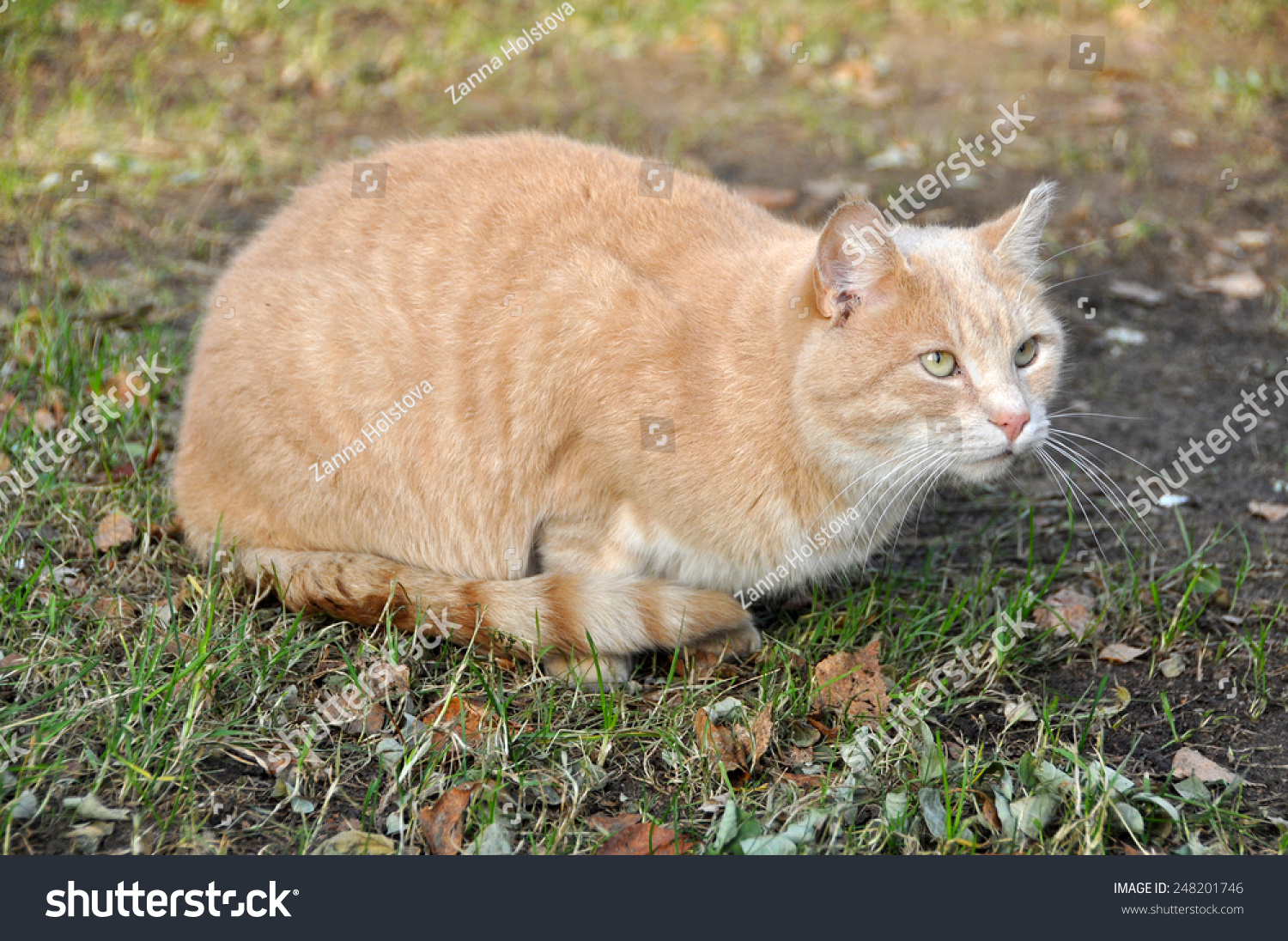 red cat sand color stock photo edit now 248201746 shutterstock