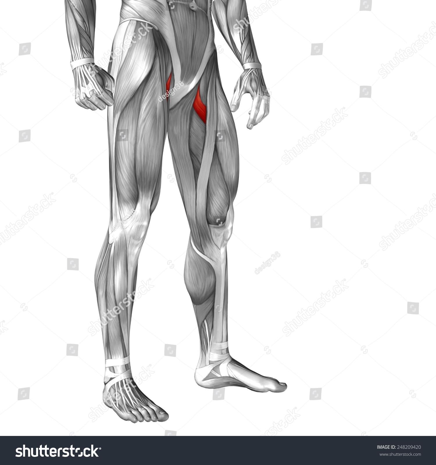 Conceptual 3 D Pectineus Human Upper Leg Stock Illustration ...