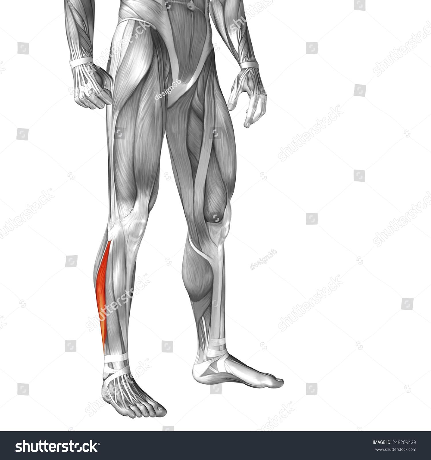 Exelent Fibularis Longus Festooning - Human Anatomy Images ...