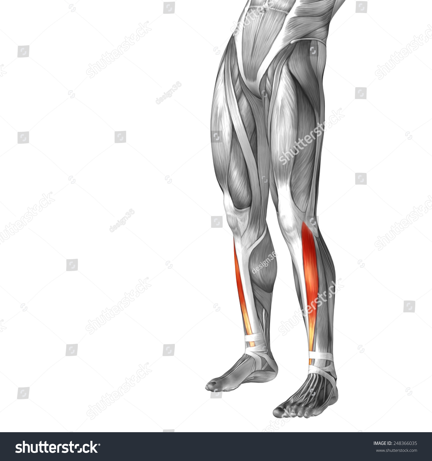 Conceptual 3 D Tibialis Anterior Human Lower Stock Illustration ...