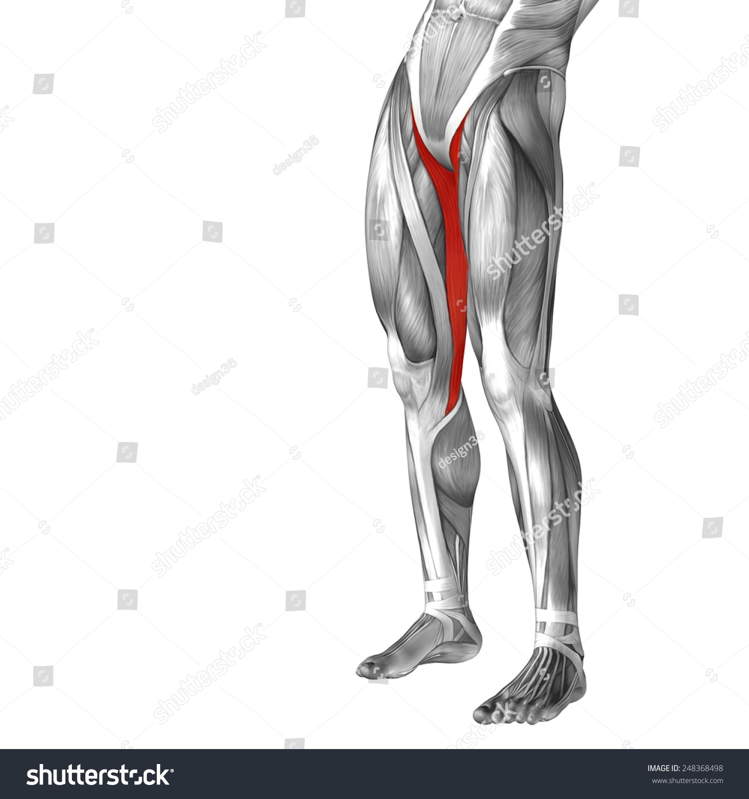 Conceptual 3 D Gracilis Human Upper Leg Stock Illustration Royalty
