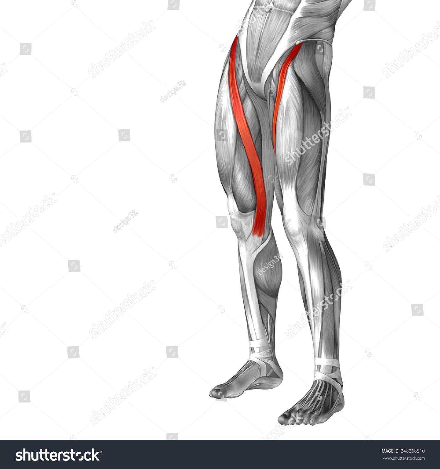Conceptual 3 D Sartorius Human Upper Leg Stock Illustration ...