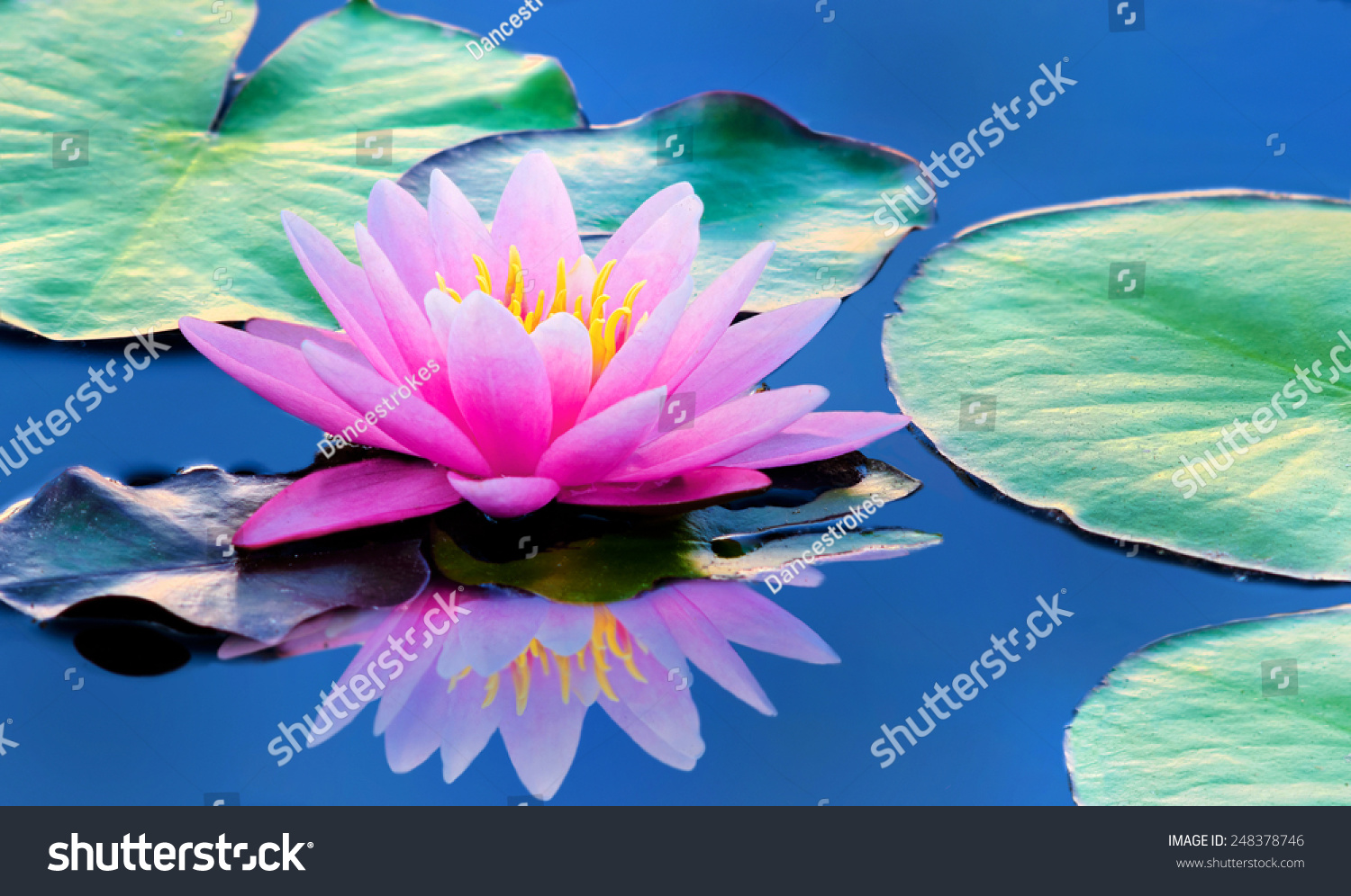 Beautiful Pink Water Lily Lotus Flower Stock Photo Edit Now