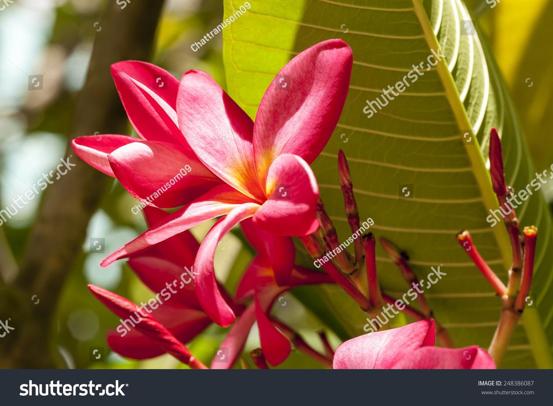 Branch Tropical Pink Flowers Frangipani Plumeria Stock Photo Edit