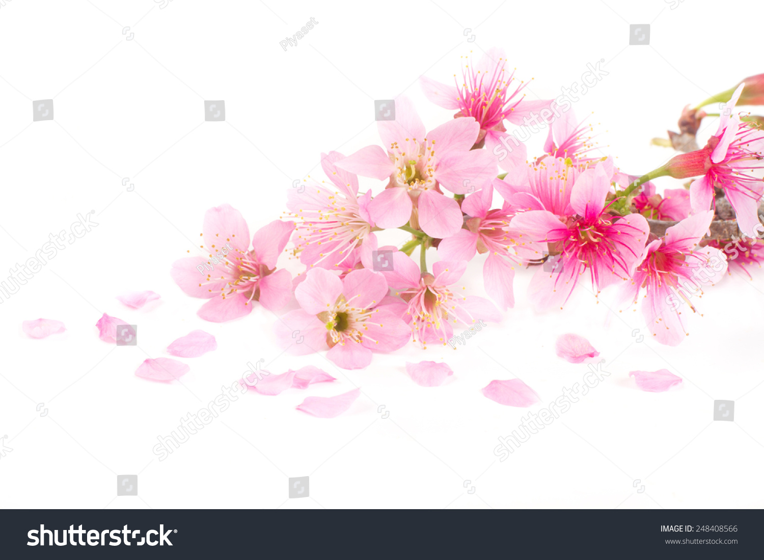 Pink cherry blossom sakura flowers isolated stock photo 248408566 pink cherry blossom sakura flowers isolated on white background dhlflorist Images