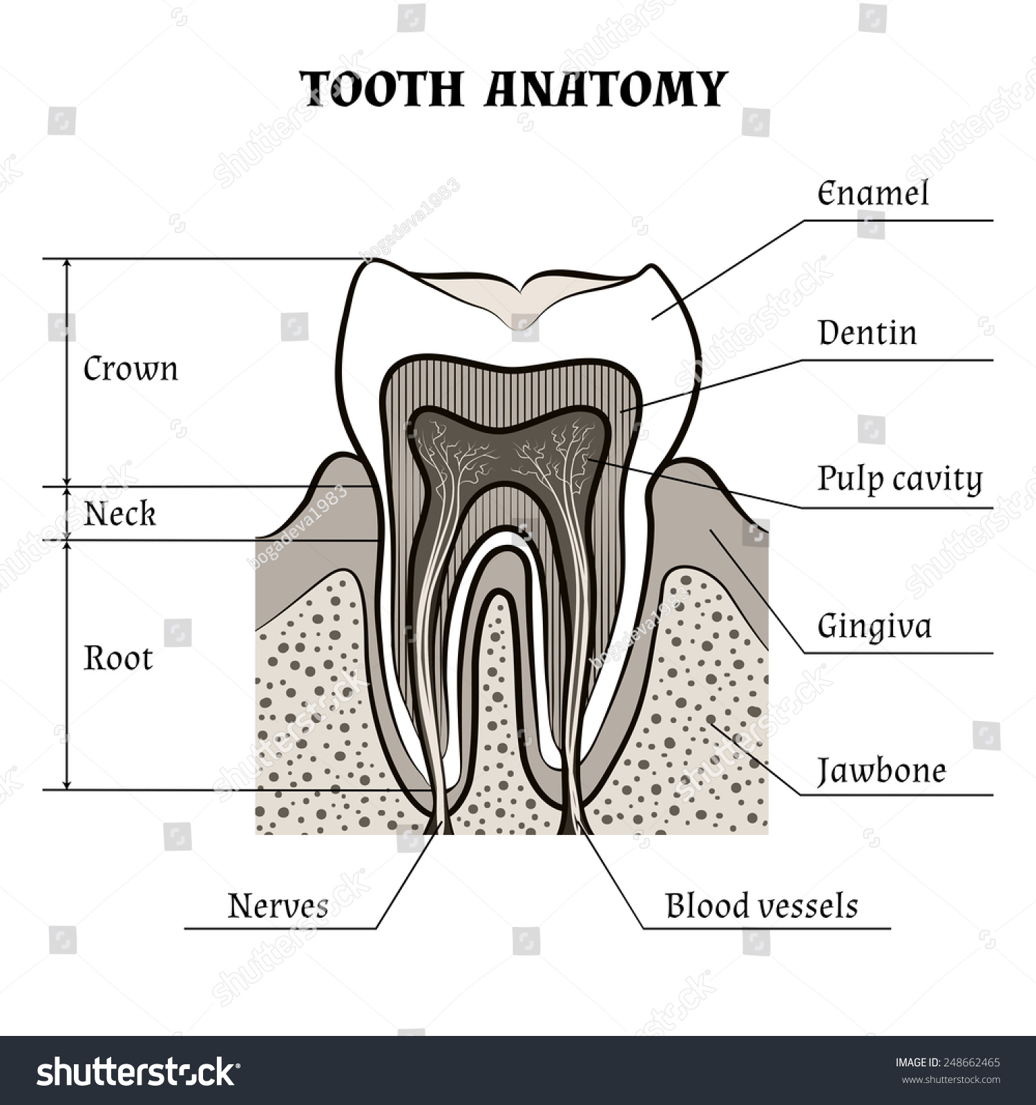 Illustration tooth anatomy drawn retro style stock vector illustration of tooth anatomy drawn in retro style isolated on white background biocorpaavc Image collections
