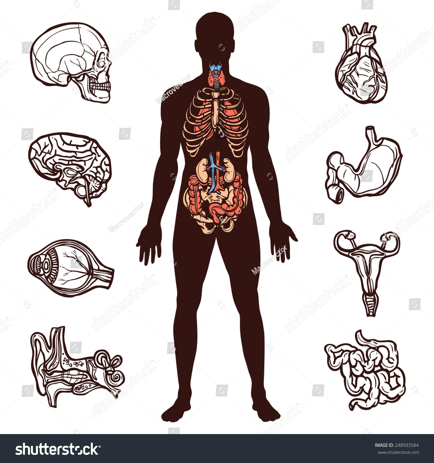 Anatomy Set Sketch Internal Organs Human Stock Vector 248933584 ...