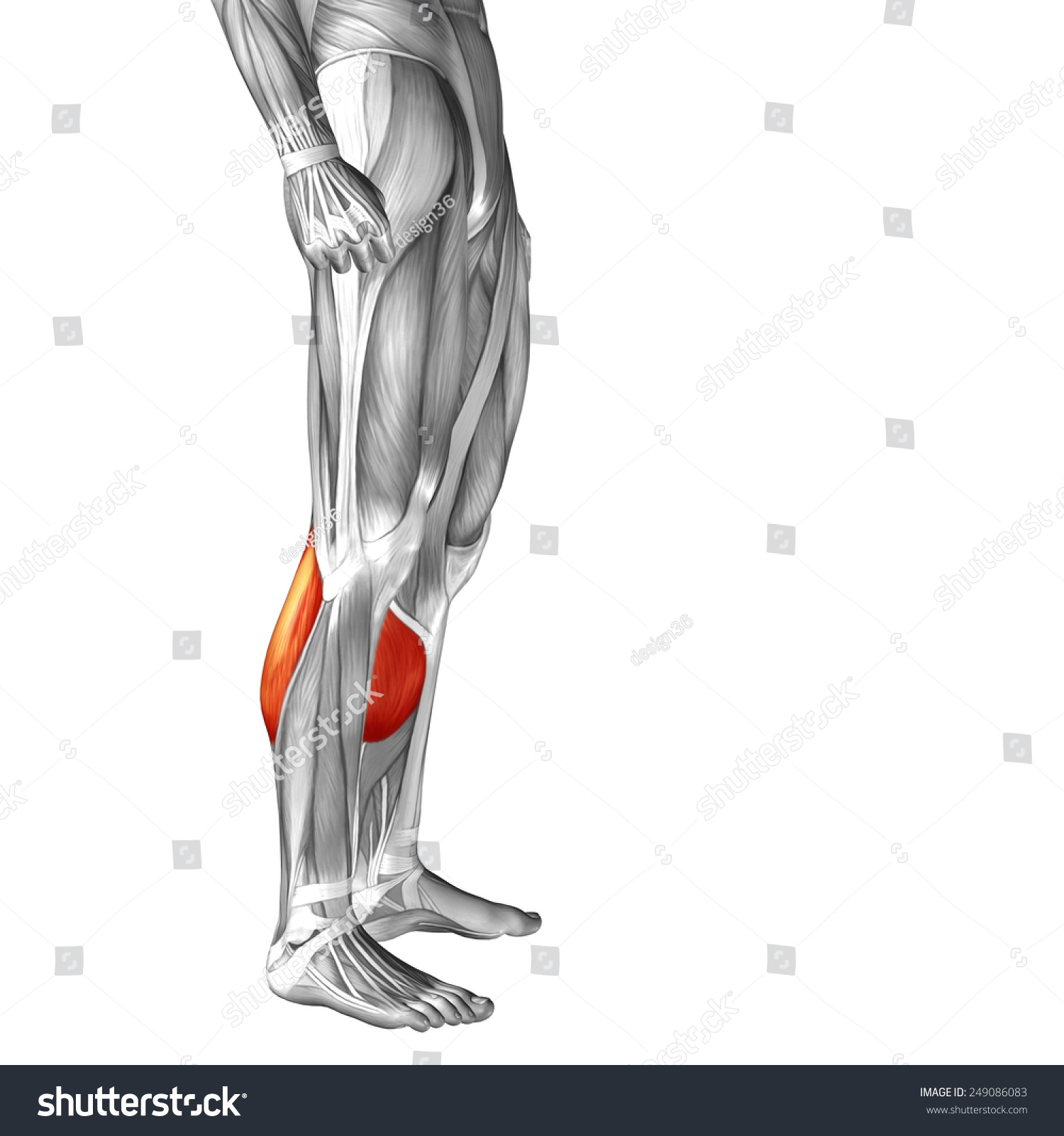 Conceptual 3 D Gastrocnemius Human Lower Leg Stock Illustration ...
