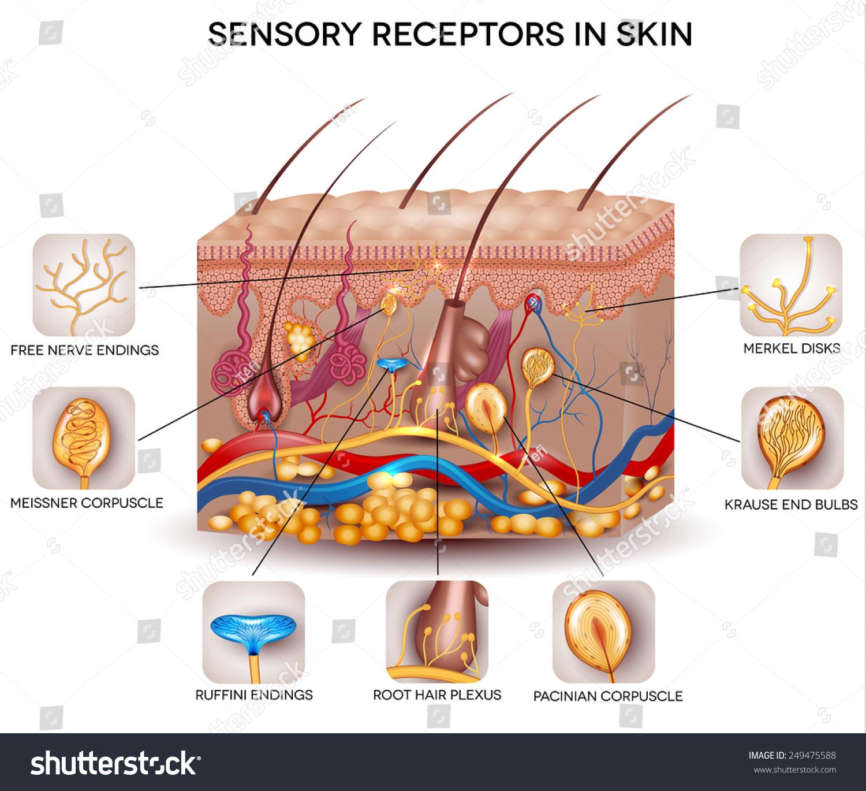 Sensory Receptors Skin Detailed Skin Anatomy Stock Vector 249475588 ...