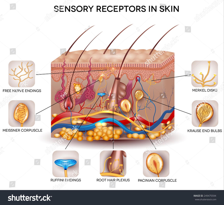 Sensory Receptors Skin Detailed Skin Anatomy Stock Illustration ...