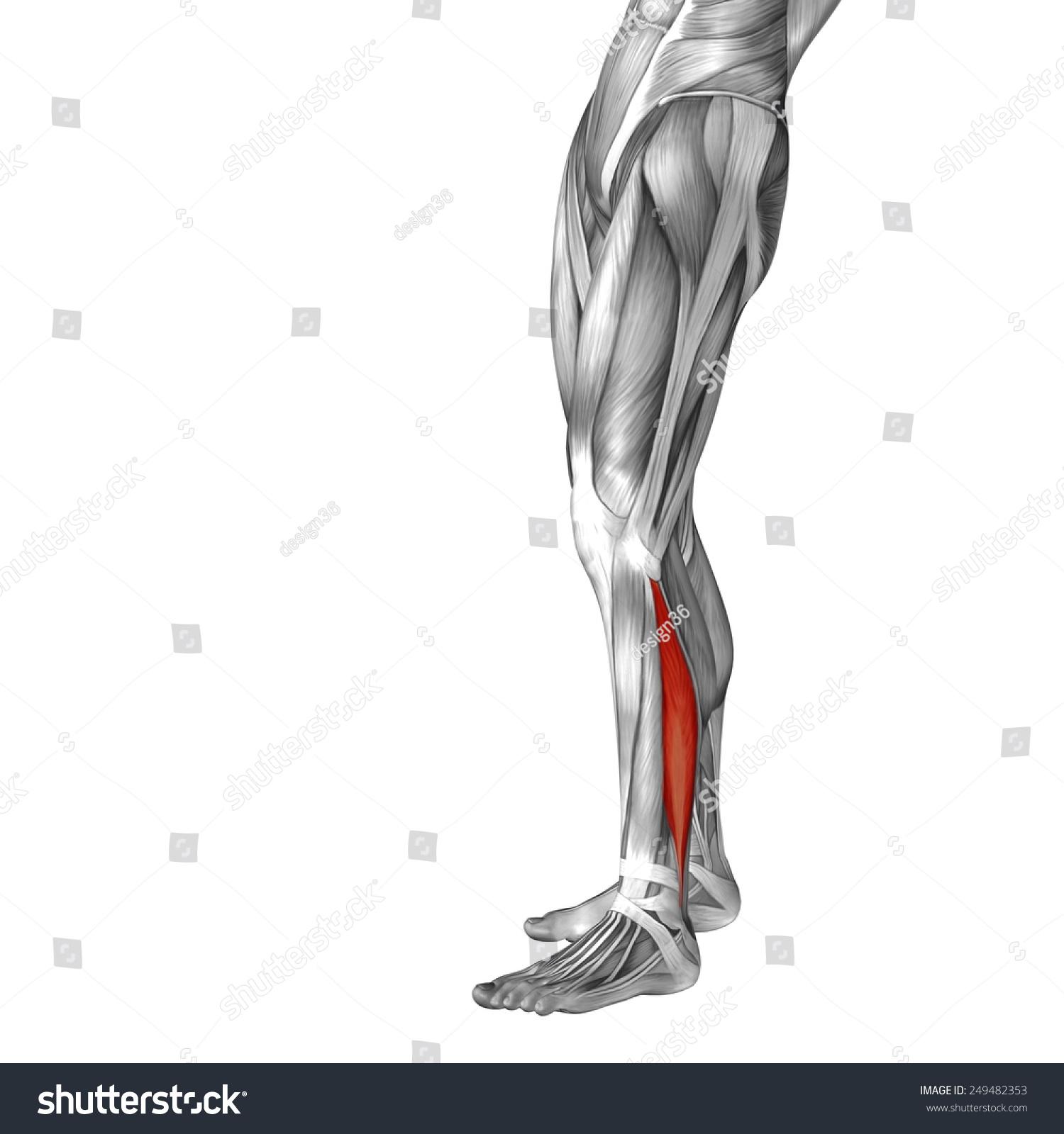 Conceptual 3 D Peroneus Fibularis Longus Leg Stock Illustration ...