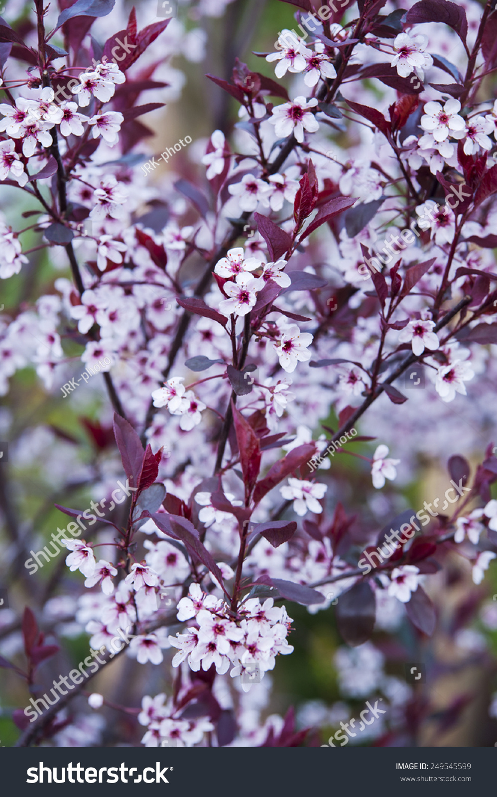 Garden Tree Dark Red Leaves White Stock Photo Edit Now 249545599