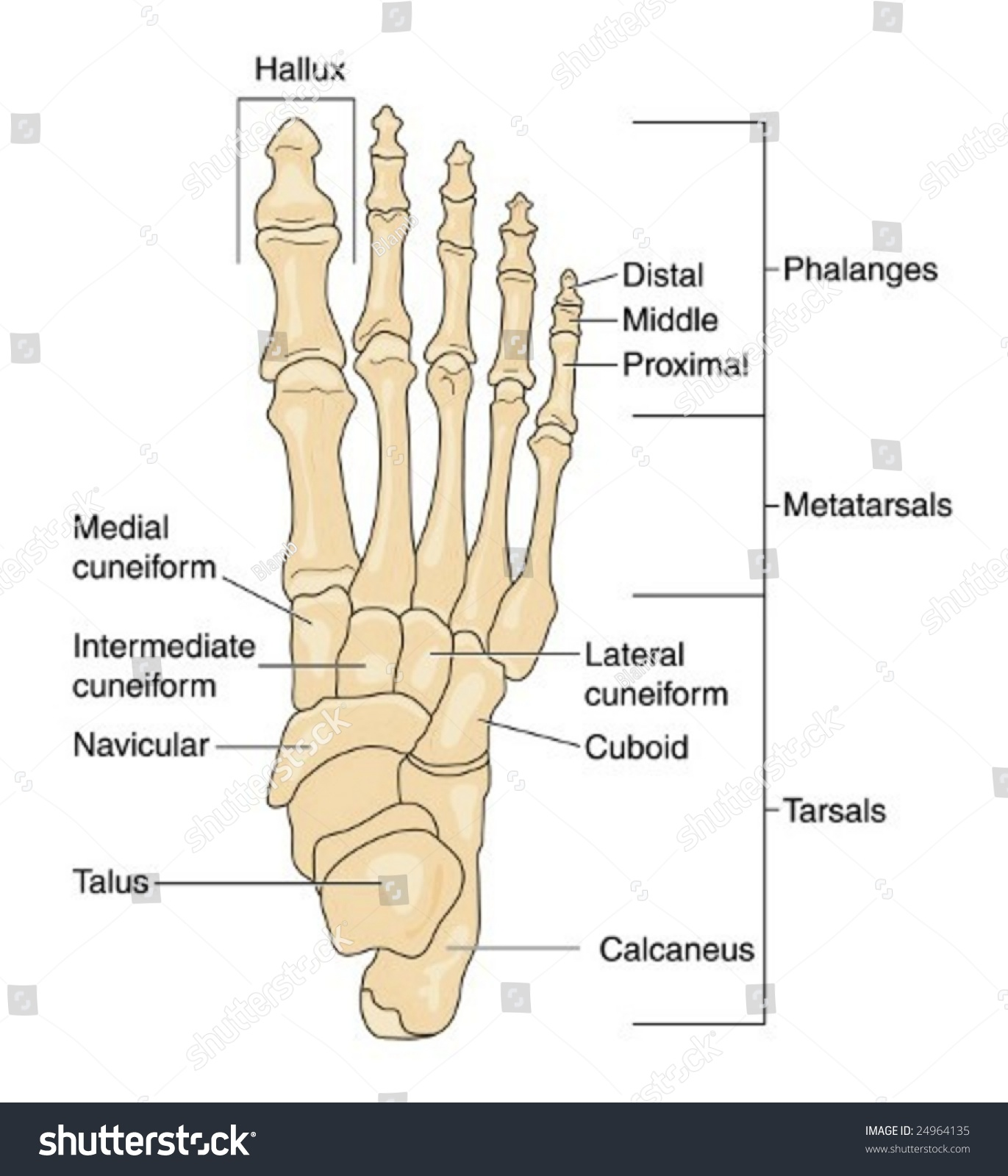 Labeled Picture Of The Human Foot 59