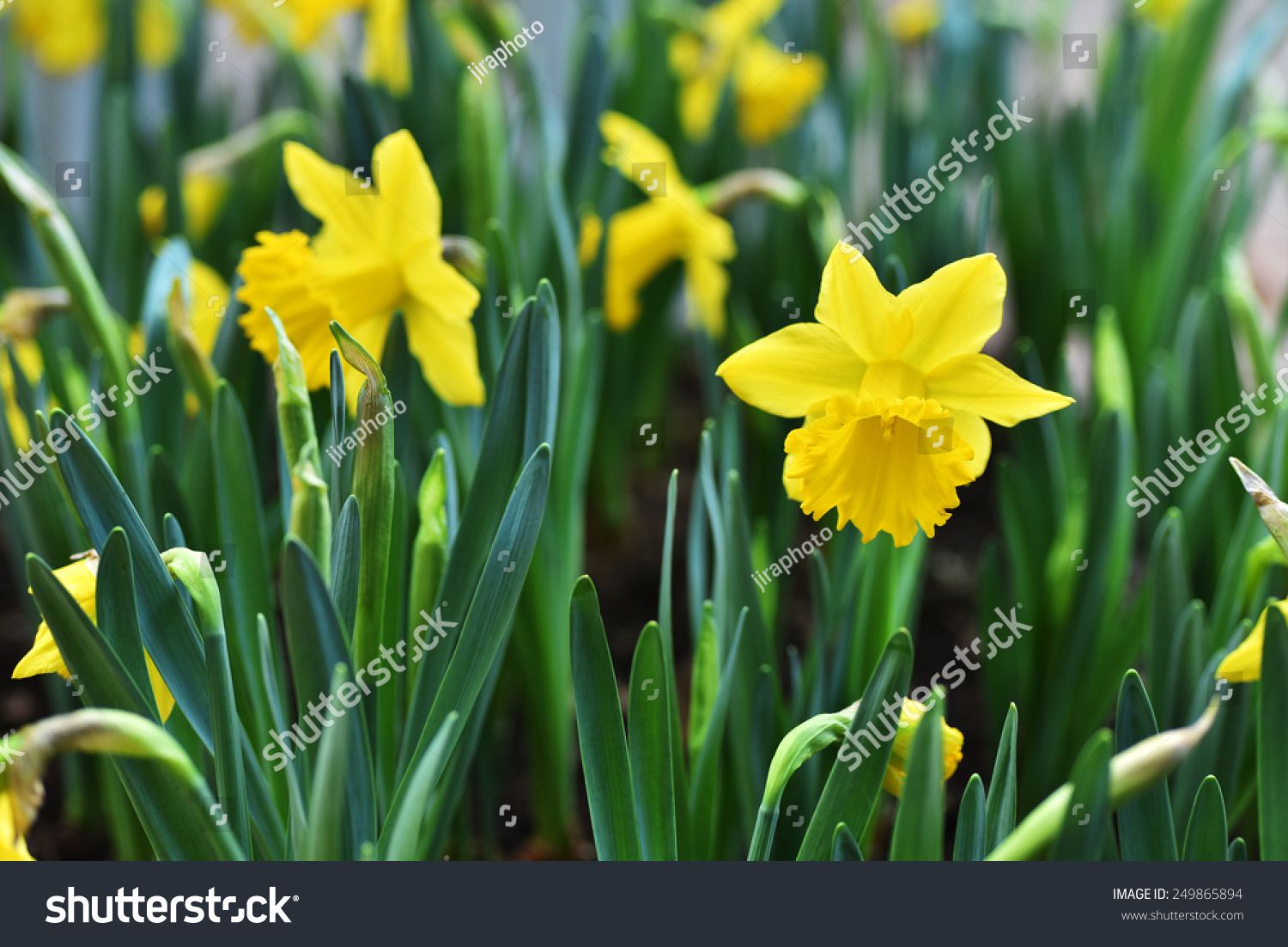 Daffodil Narcissus Yellow Flower In Bloom In Spring Ez Canvas