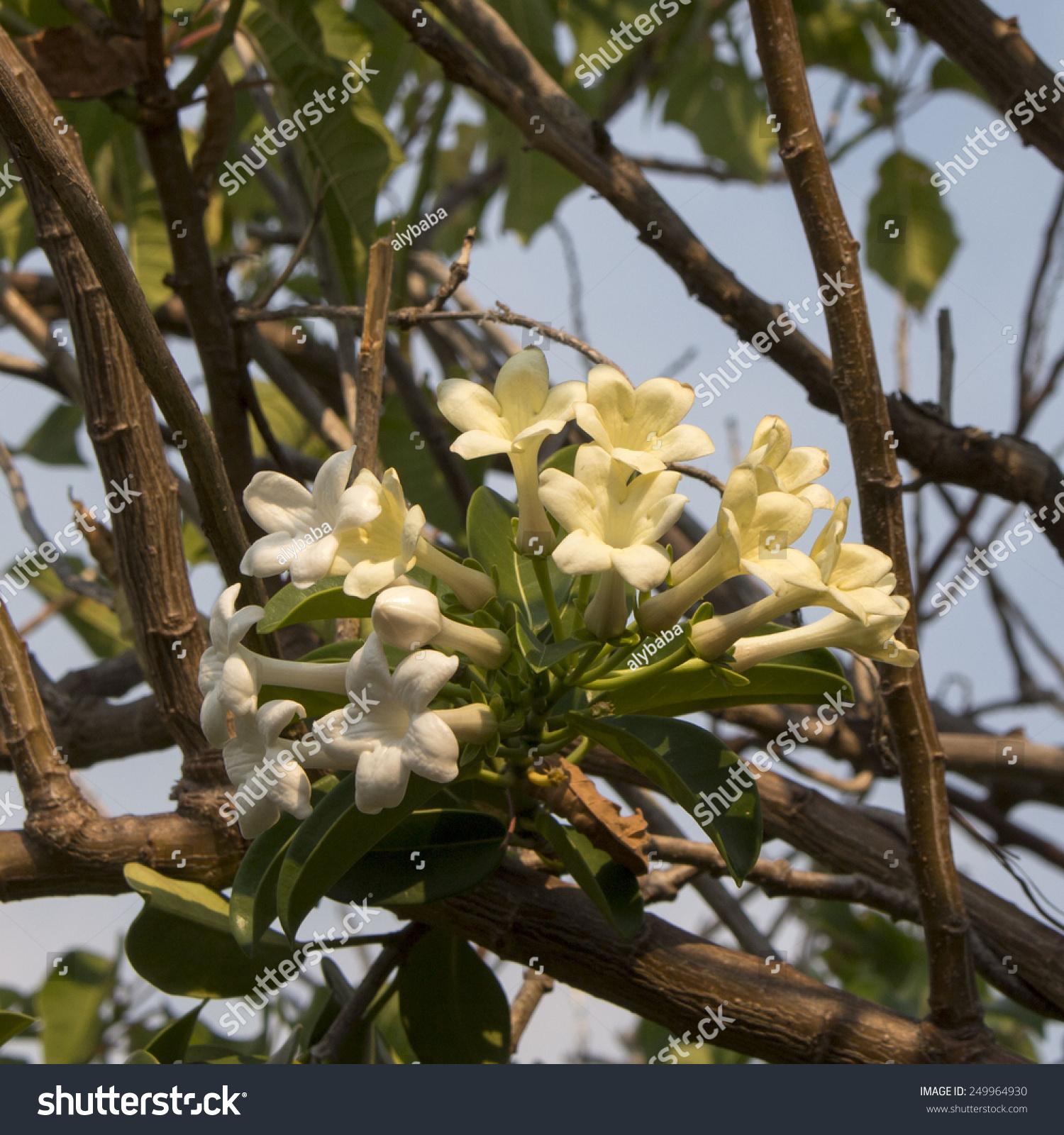 Beautiful Fragrant White Blooms Stephanotis Florabunda Stock Photo