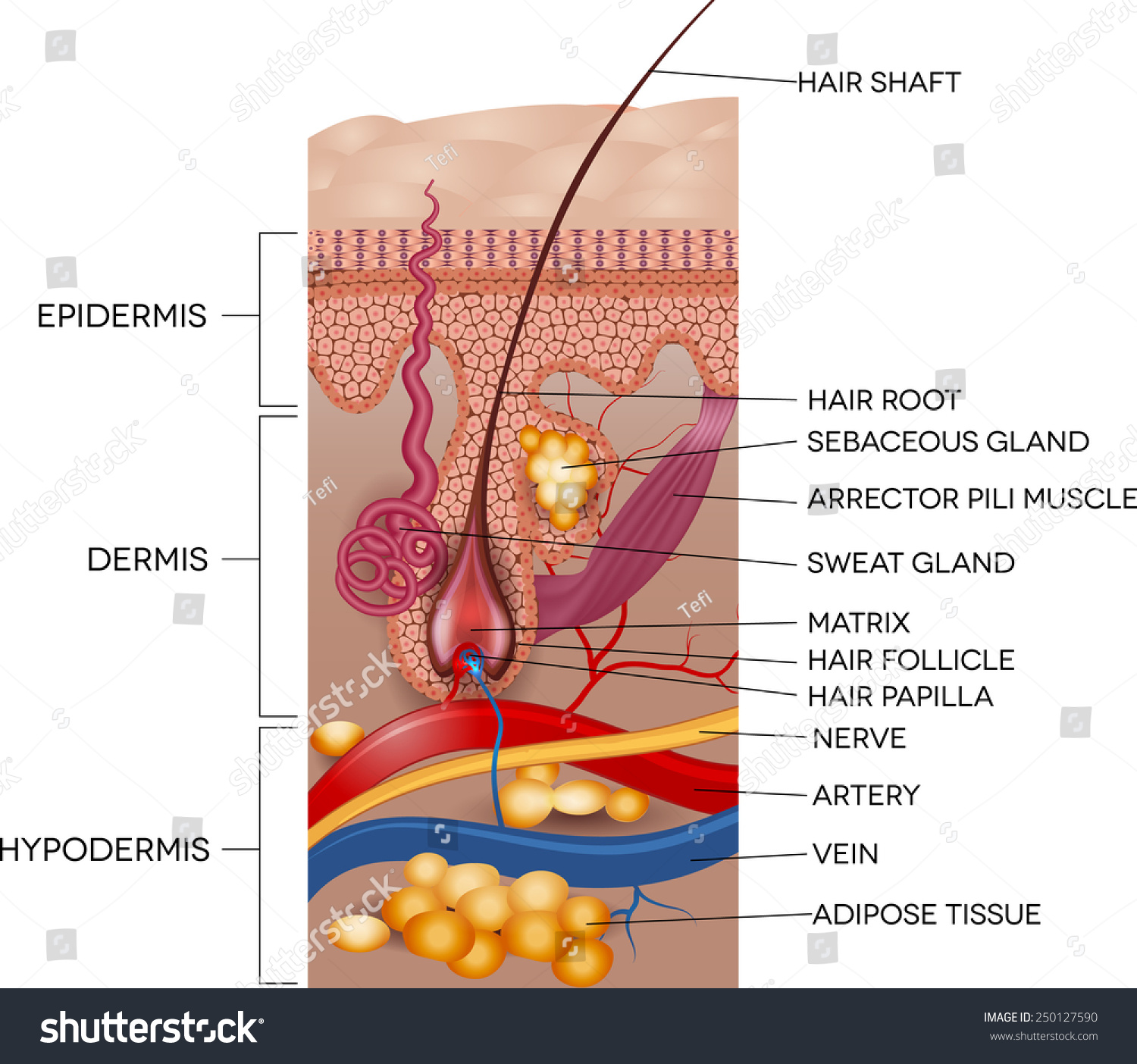 Labeled Skin Hair Anatomy Detailed Medical Stock Vector 250127590 ...