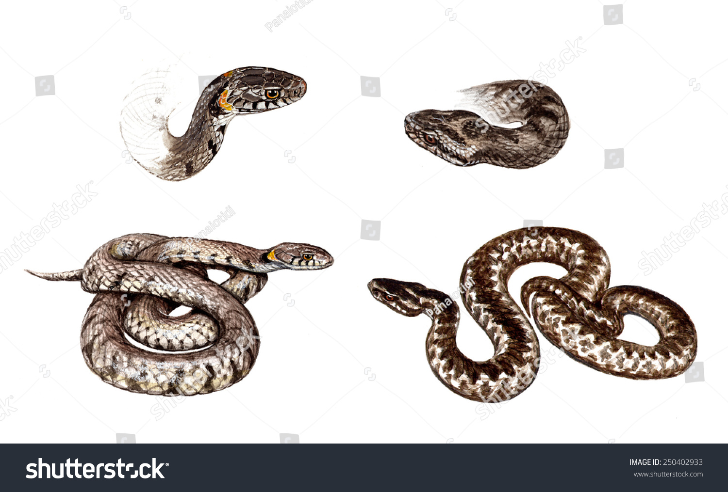 differences structure color common european vipera stock