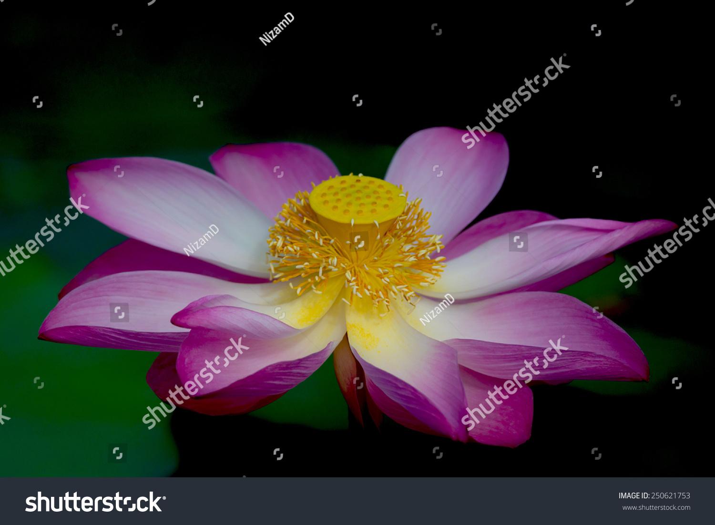 Lotus flower bloom nelumbo nucifera botanical stock photo 250621753 lotus flower in bloom nelumbo nucifera is botanical name for lotus plant izmirmasajfo