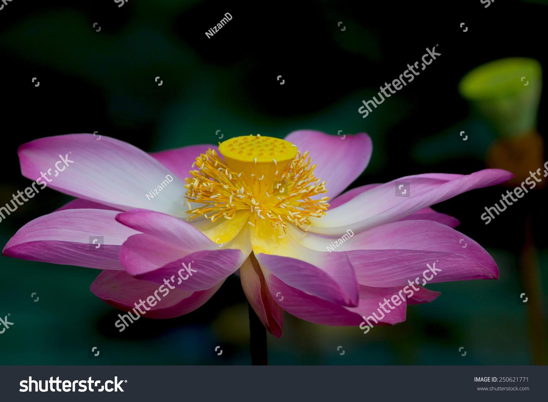 Royalty free lotus flower in bloom nelumbo nucifera 250621771 lotus flower in bloom nelumbo nucifera is botanical name for lotus plant 250621771 izmirmasajfo