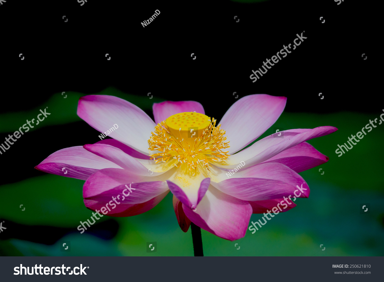Lotus flower botanical name image collections flower wallpaper hd lotus flower botanical name choice image flower wallpaper hd lotus flower botanical name image collections flower izmirmasajfo