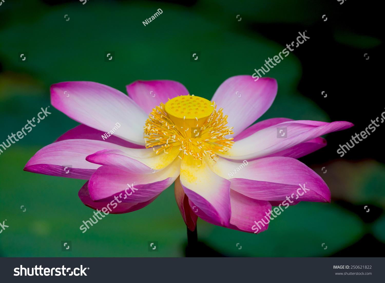 Lotus flower bloom nelumbo nucifera botanical stock photo 250621822 lotus flower in bloom nelumbo nucifera is botanical name for lotus plant izmirmasajfo Choice Image