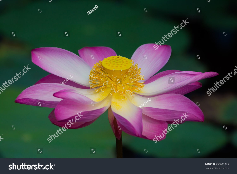Lotus flower bloom nelumbo nucifera botanical stock photo 250621825 lotus flower in bloom nelumbo nucifera is botanical name for lotus plant izmirmasajfo