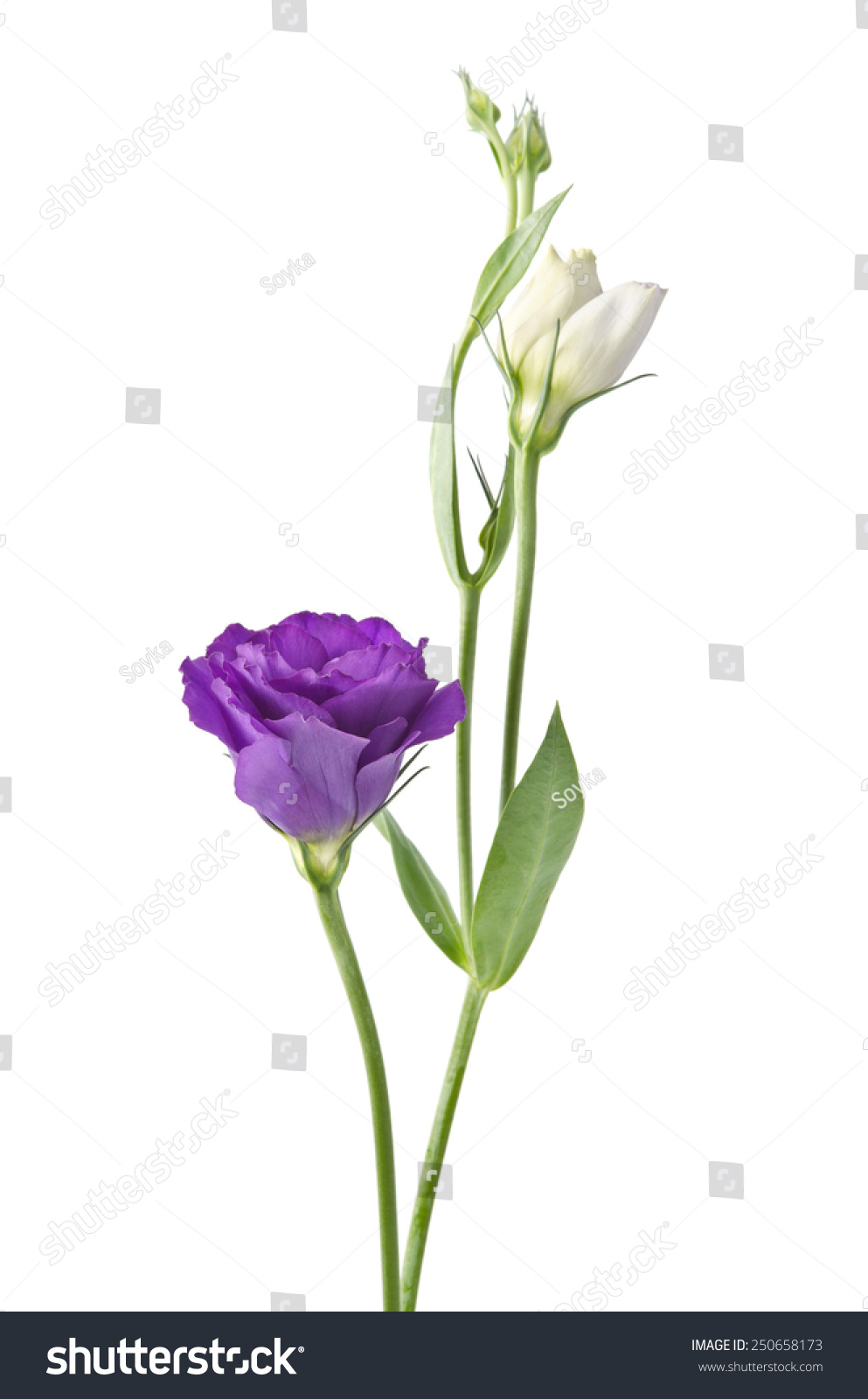 Light Purple Flowers Isolated On White Background Eustoma Ez Canvas