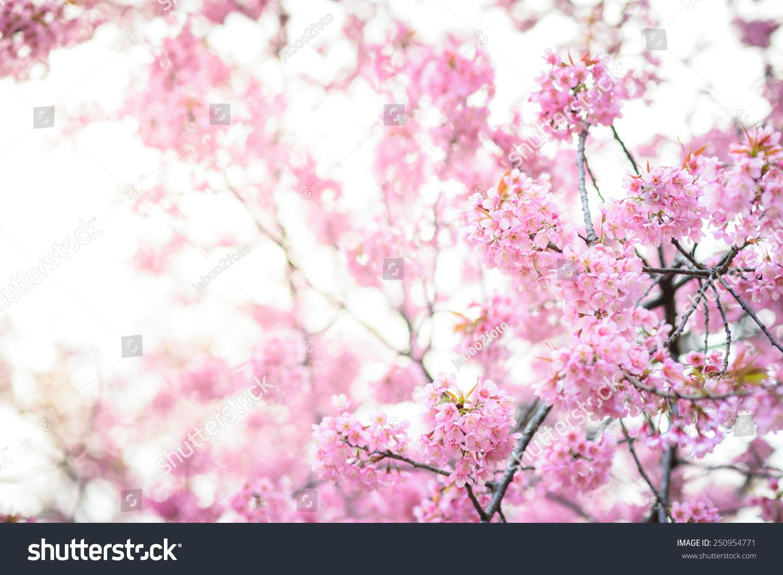 Beautiful pink cherry blossom sakura flower stock photo 250954771 beautiful pink cherry blossom sakura flower dhlflorist Images