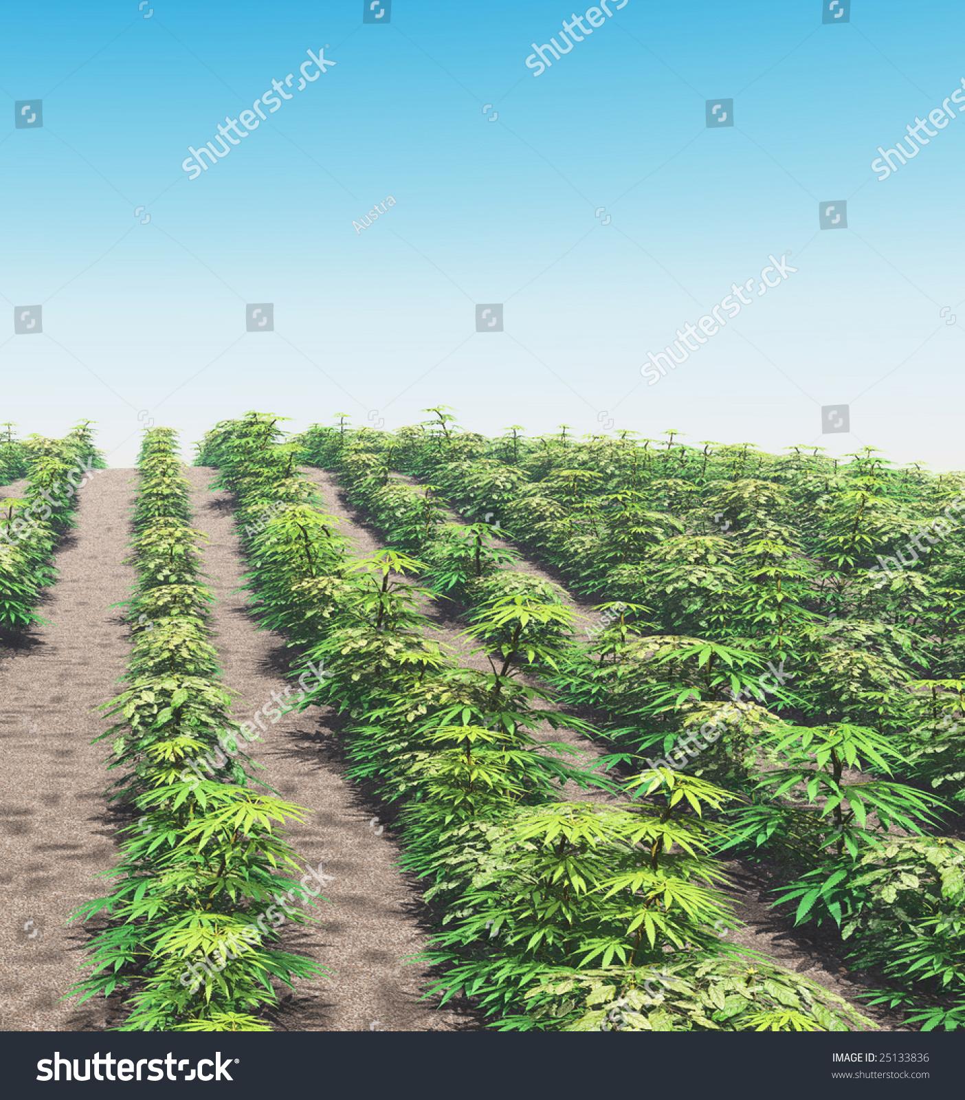 Cannabis plantation stock photo 25133836 shutterstock for Cannabis plantation interieur