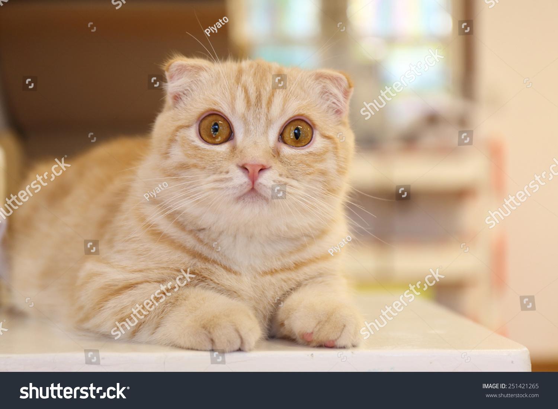 Edit Photos Free Online - persian cat | Shutterstock Editor