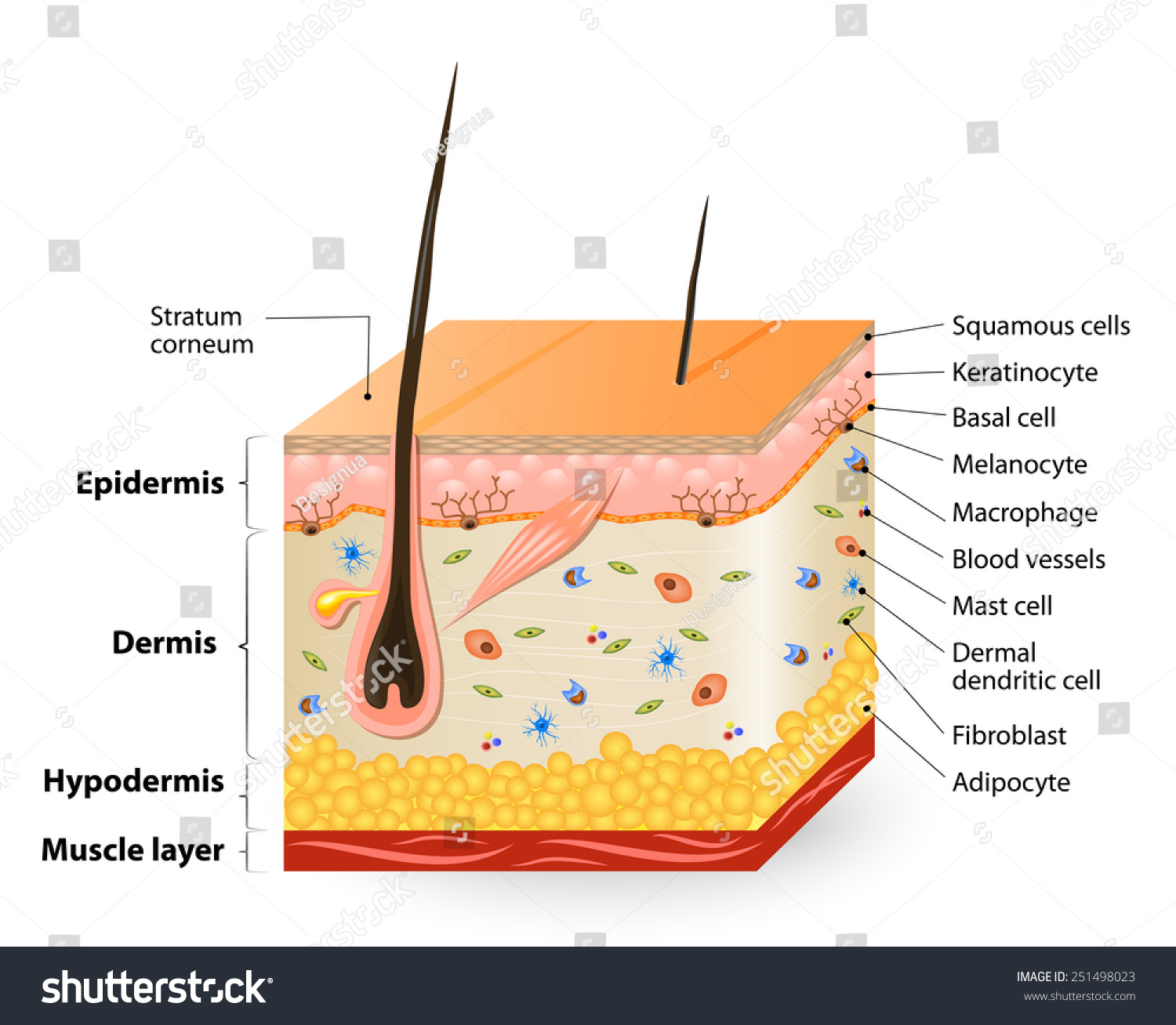 Royalty Free Structure Of The Human Skin Anatomy 251498023 Stock