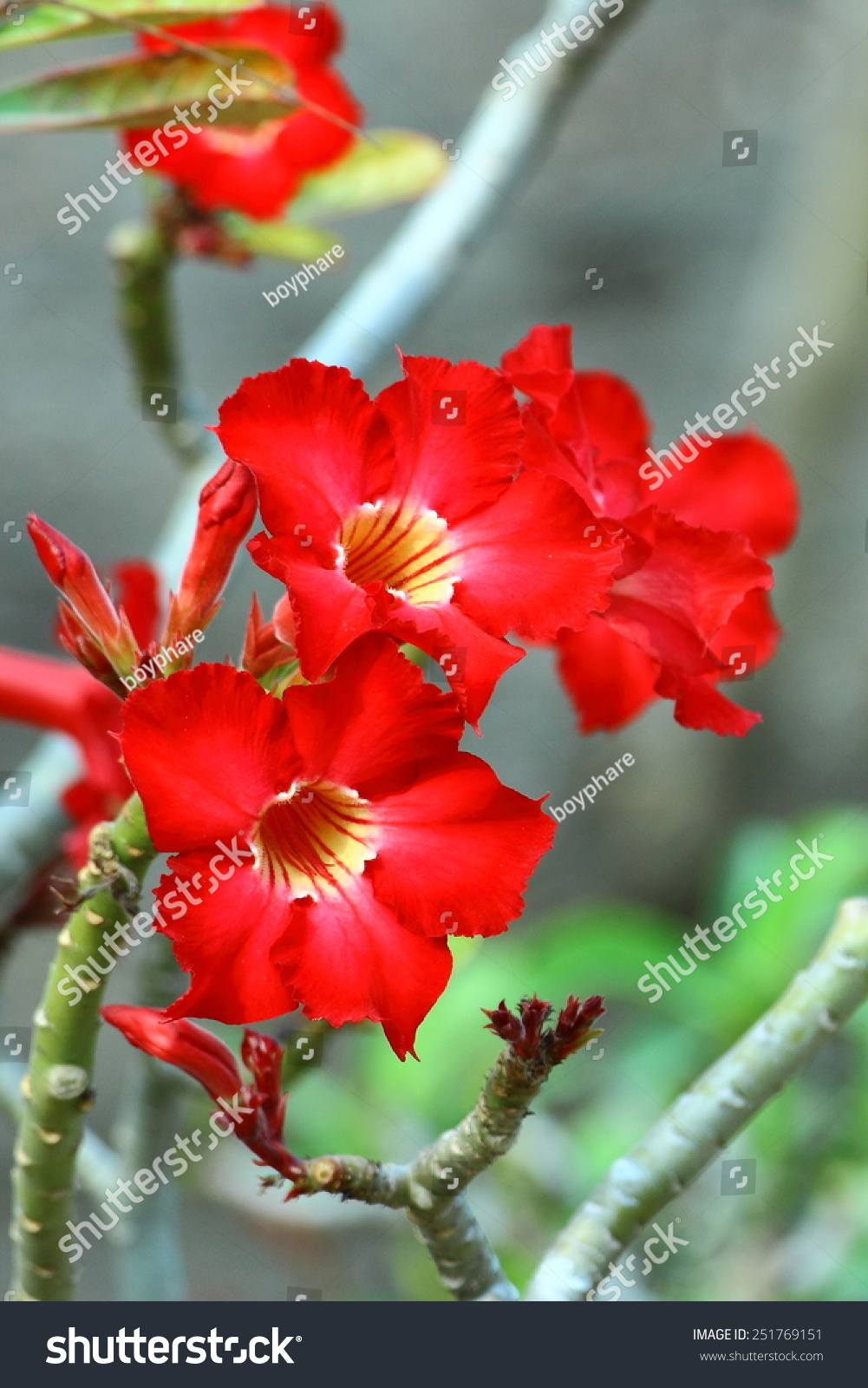 Desert Rose Mock Azalea Name Plants Beautiful Stock Photo Edit Now