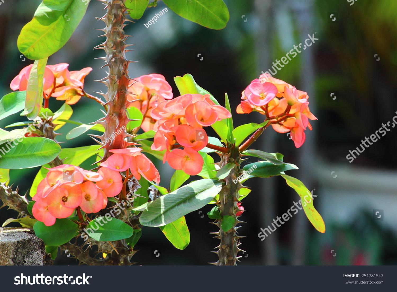 Desert Rose Mock Azalea Name Plants Stock Photo Edit Now 251781547