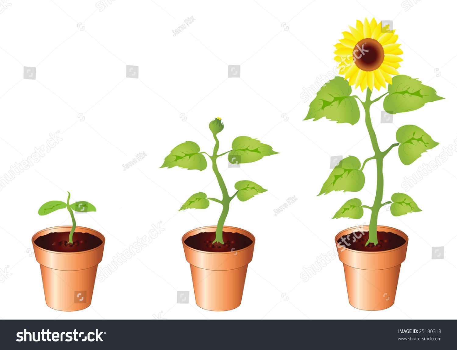 Stages Of A Flower Blooming flower growth stages stock photos, images ...