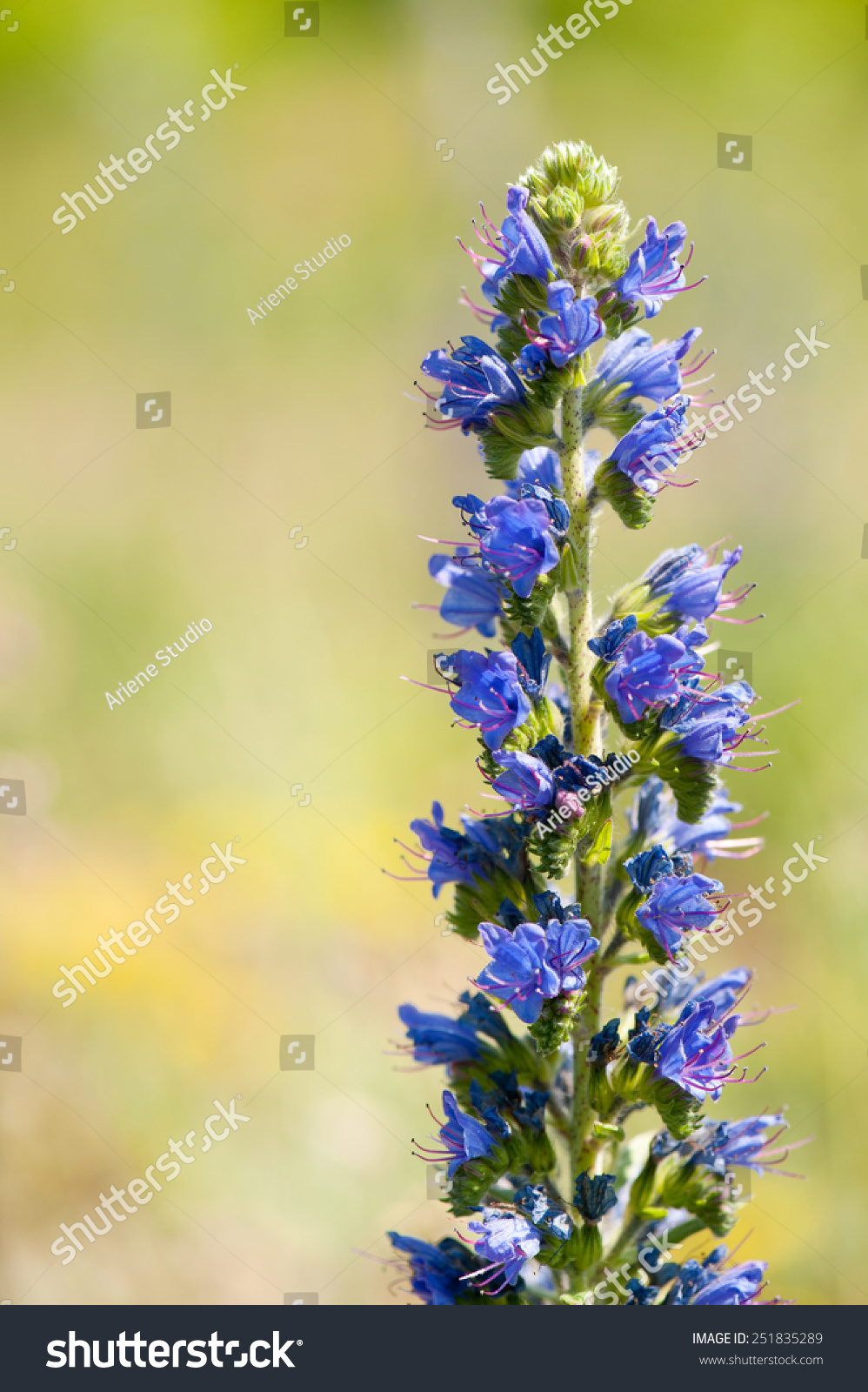 Echium Vulgare Blue Weed Flowering Plant Stock Photo Edit Now