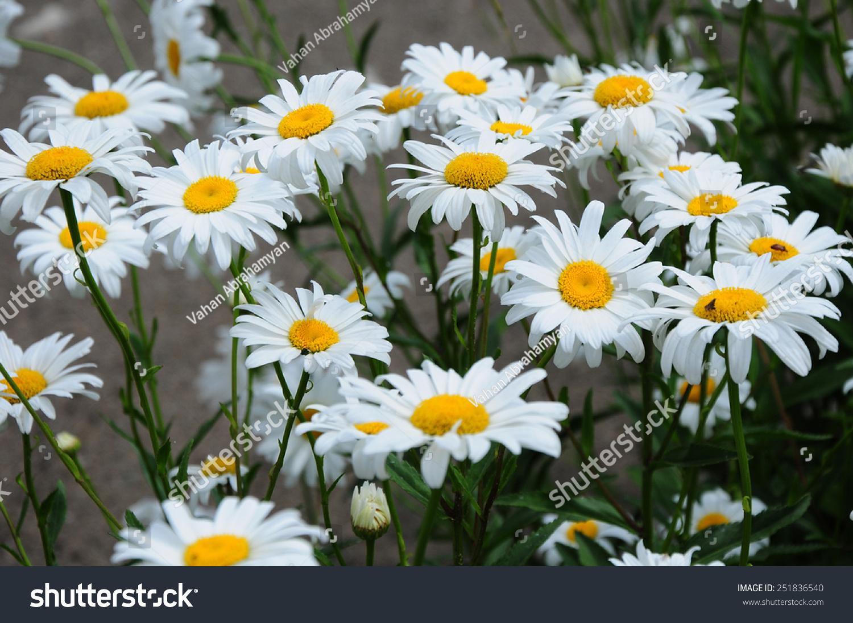 Becky Shasta Daisy Flowers Stock Photo Edit Now 251836540