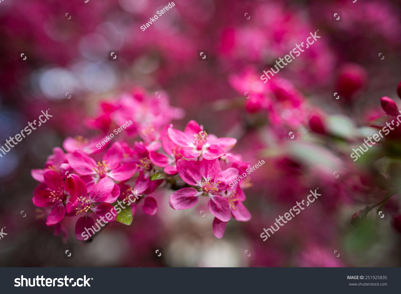 Cherry Blossoms Ez Canvas