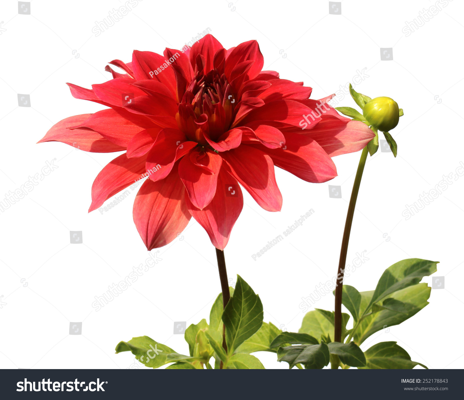 Red Dahlias Flower Plant Isolated On White Background Ez Canvas