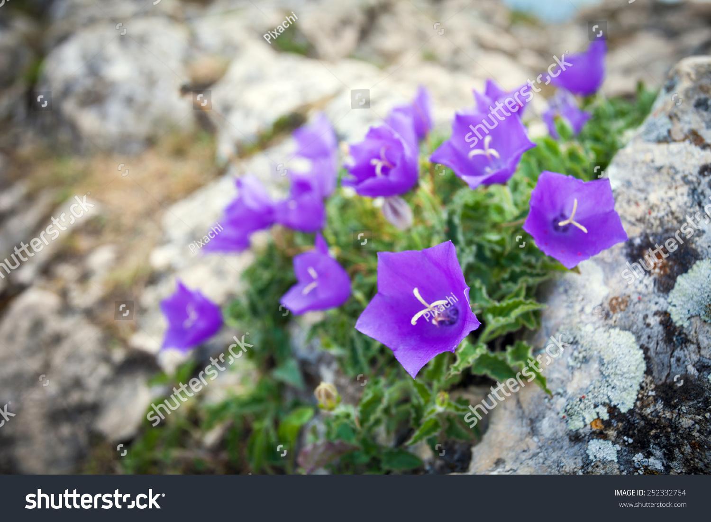 Purple Bell Flowers On Rock Stock Photo Edit Now 252332764