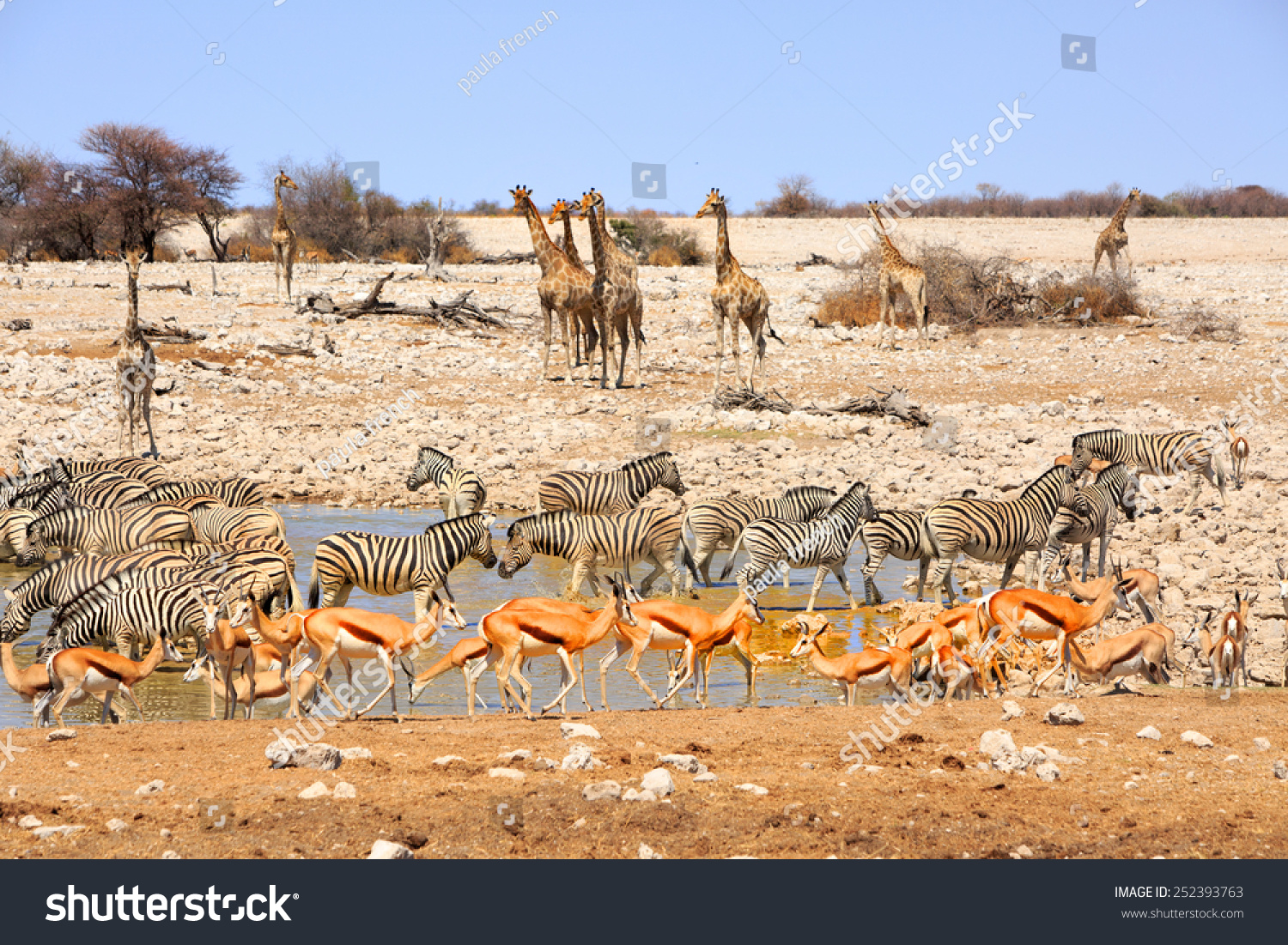Waterhole in Etosha teeming with many different varieties of animals including, giraffe, zebra, springbok, Oryx