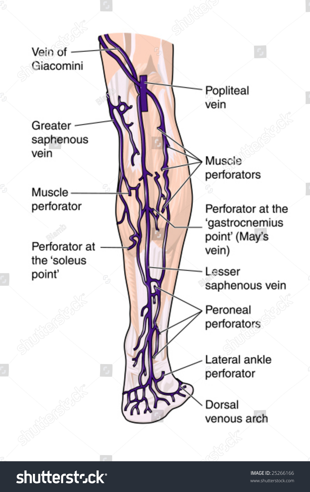 Leg Veins Posterior Labeled Stock Vector (Royalty Free) 25266166 ...