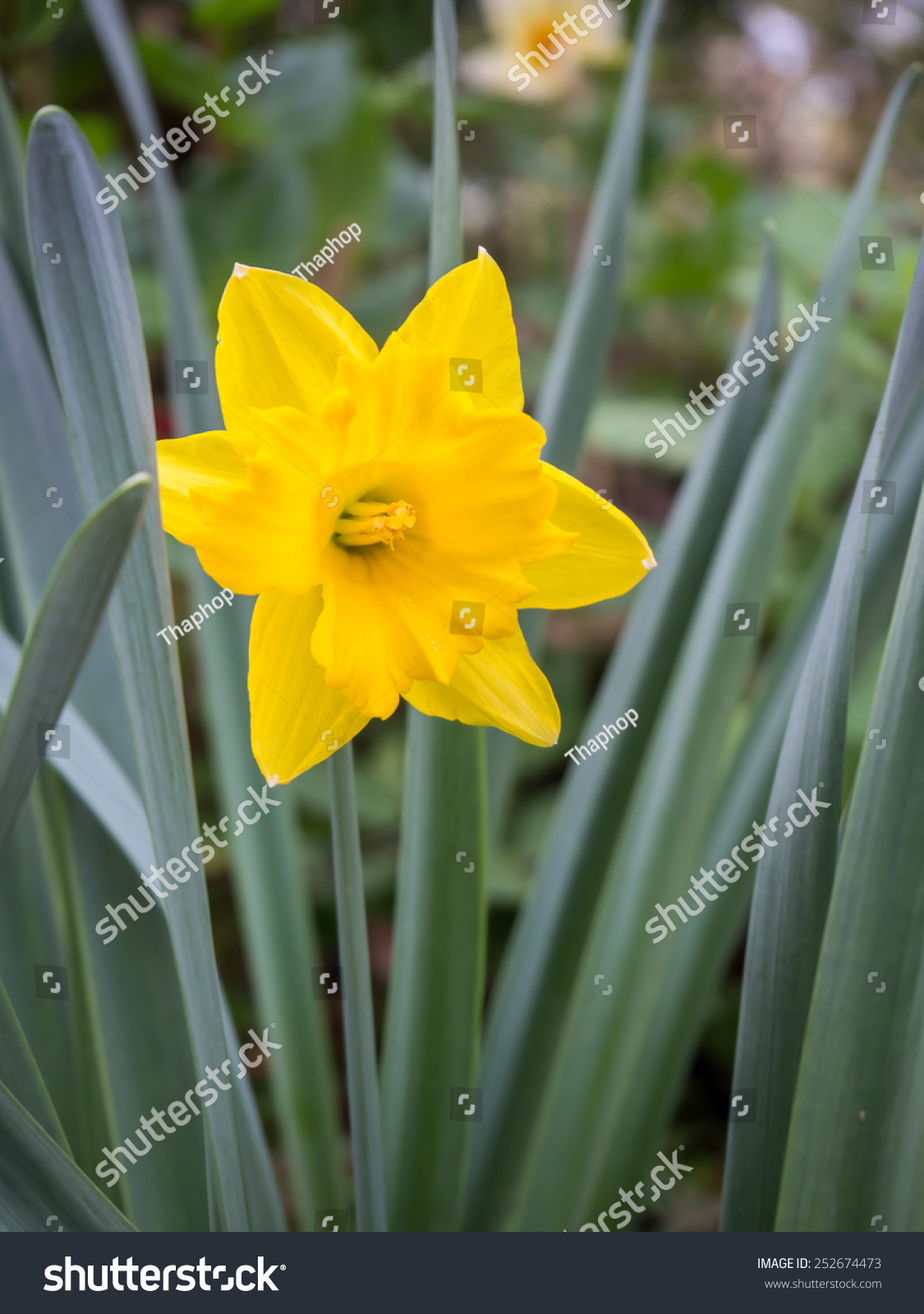 Daffodil Narcissus Yellow Flower Bloom Spring Stock Photo Edit Now