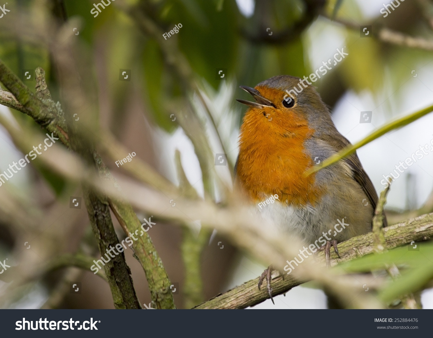 Robin Red Breast spotted in National Botanic Gardens, Dublin ...