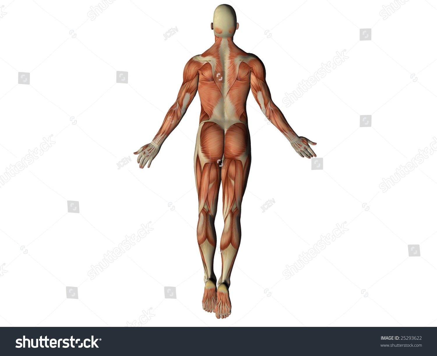 Male Torso Showing Muscles Behind Isolated Stock Illustration ...