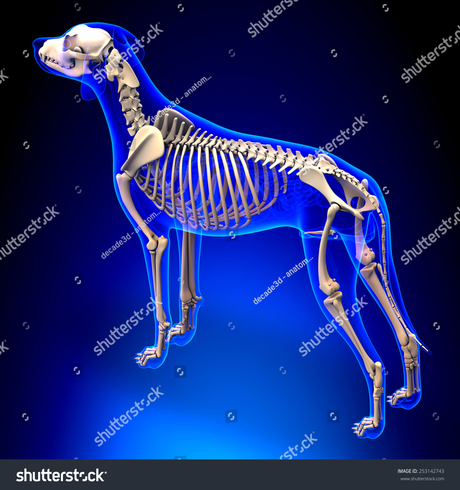 Dog Skeleton Canis Lupus Familiaris Anatomy Stock Illustration ...