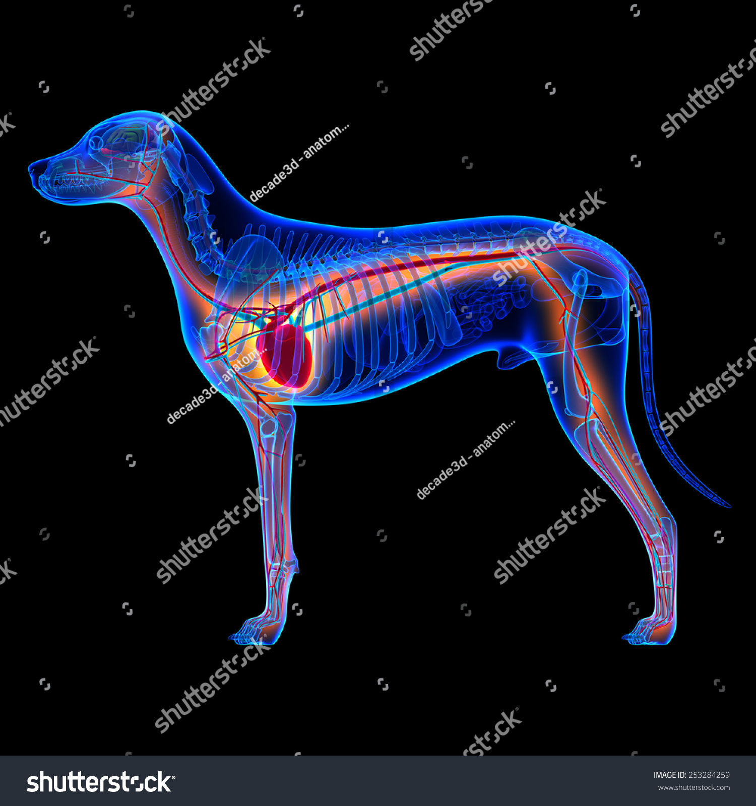 Royalty Free Stock Illustration of Dog Heart Anatomy Circulatory ...
